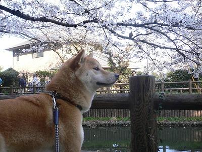 ニッポンの春!