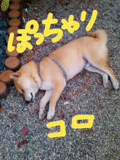 コロ助、寝そべる