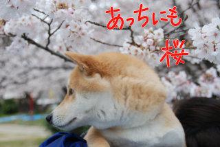 あっちにも桜