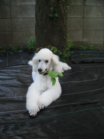 庭でTampopo(4ヶ月齢)