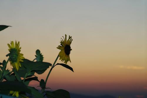 夕映えの向日葵