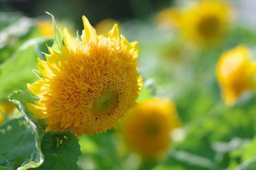 変わり種向日葵