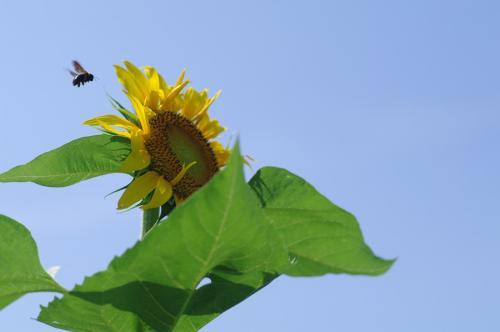 花粉集めのハチ
