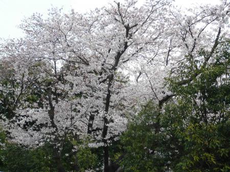 sakura_convert_20090405112541.jpg