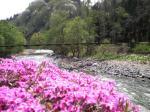 芝桜とつり橋