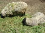羊たち(名前忘れた…)