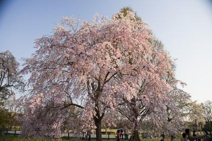 万博桜-1