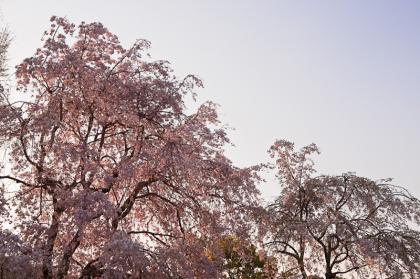 万博桜-2