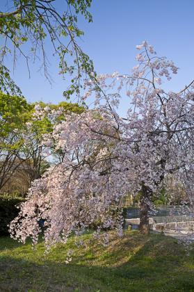 万博桜-3