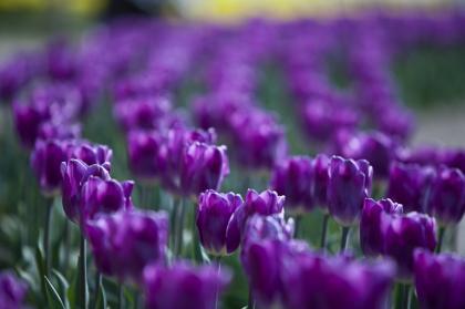 チューリップ:紫