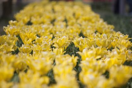 チューリップ:黄色