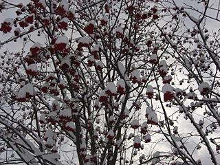 ナナカマドに積もる雪