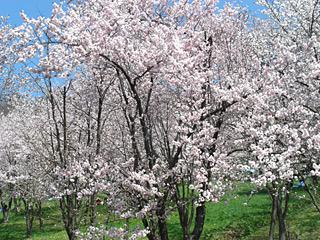 090506 キトウシ公園 桜1