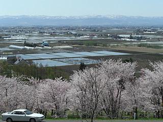090506 キトウシ公園 桜2