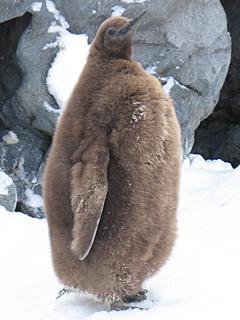ペンギン赤ちゃん