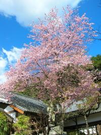 修禅寺本堂寒桜