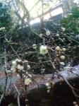 満開の梅がお出迎え!