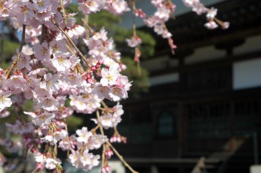 しだれ桜と本堂