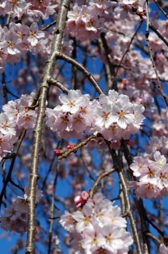 タテしだれ桜