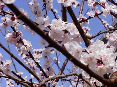 090331桜
