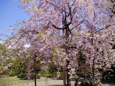 090410後楽園桜