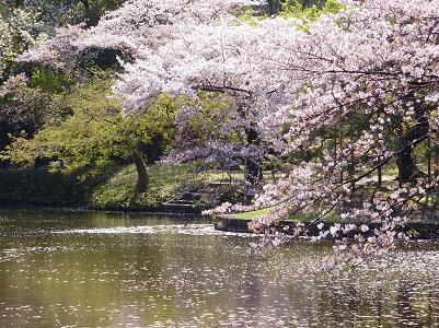 090410後楽園池桜2