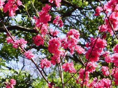 090410後楽園赤花