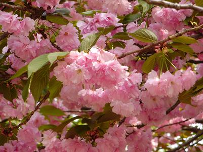 090416桜