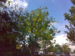 タイの花 ラチャプルック01