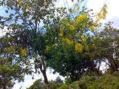 タイの花 ラチャプルック02