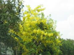 タイの花 ラチャプルック03