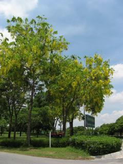 タイの花 ラチャプルック04