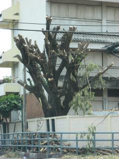 タイの木の手入れ02