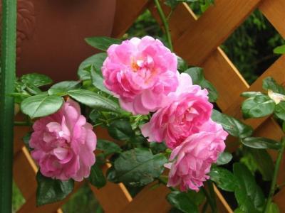 2009年7月30日ジャスミーナ開花