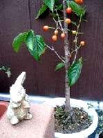 さくらんぼの木とラビットちゃゅん