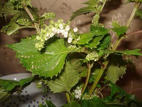 シソしの花♪