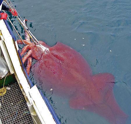 南極海で体長10メートル、450キロの巨大イカ捕獲 世界最重量1