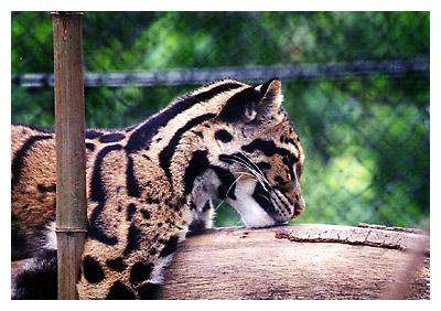 ボルネオ島などに生息の大型のネコ科動物 新種と確認2