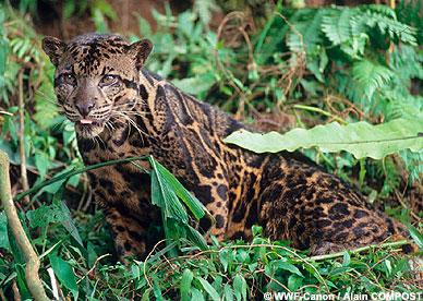 ボルネオ島などに生息の大型のネコ科動物 新種と確認