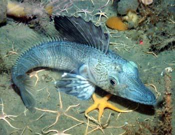 別の海底で発見されたコオリウオの一種