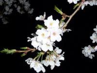 09夜桜2