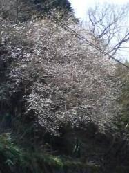 090413_1228~ヤビツ桜