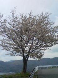 090428_1511_山中湖 桜ゲット