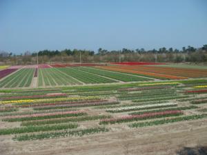 tulip421