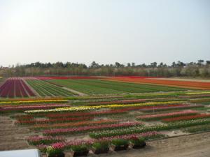 tulip422