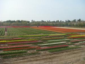 tulip423