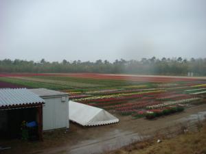 tulip424