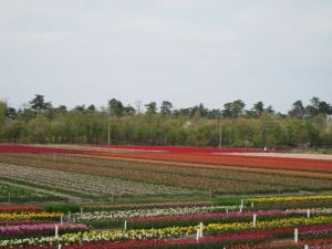 tulip425