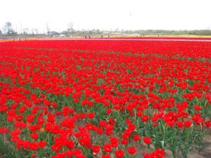 tulip426