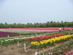 tulip51